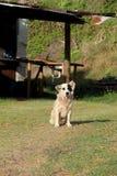 Прелестная черно-белая собака сидя на лужайке дома Стоковое Изображение