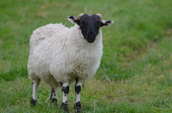 Прелестные белые и черные Horned овцы в поле Стоковое Изображение RF