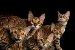 Прелестные котята Бенгалии породы изолированные на черной предпосылке Стоковые Фото