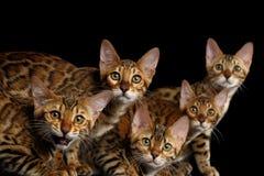 Прелестные котята Бенгалии породы изолированные на черной предпосылке Стоковое Изображение RF