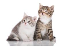 прелестные котята 2 Стоковое Фото
