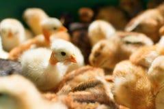 прелестные цыпленоки Стоковое Фото
