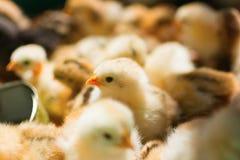 прелестные цыпленоки Стоковые Фото