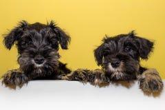 Прелестные щенята шнауцера Стоковая Фотография
