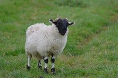 Прелестные Horned овцы пася травянистое поле Стоковое Изображение