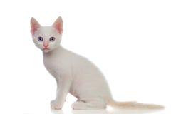 Прелестный белый котенок с голубыми глазами Стоковая Фотография RF