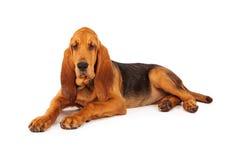 Прелестный большой щенок Bloodhound Стоковая Фотография