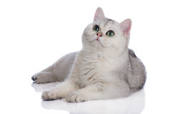 Прелестный великобританский котенок shorthair на белизне Стоковые Изображения RF