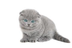 Прелестный великобританский маленький котенок Стоковое Изображение RF