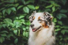 Прелестный, взрослый, аляскский, животный, порода, canino, пальто, красочное, товарищ, милый, собака, отечественная, поле, друзья стоковое изображение