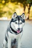 Прелестный, взрослый, аляскский, животный, порода, canino, пальто, красочное, товарищ, милый, собака, отечественная, поле, друзья стоковое изображение rf