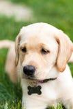 Прелестный желтый щенок лаборатории Стоковые Изображения RF