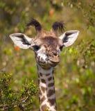 Прелестный жираф младенца смотря придурковатый Стоковое фото RF