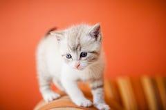 Прелестный и красивый маленький белый кот киски Стоковое Изображение RF