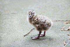 Прелестный идти младенца чайки Стоковая Фотография