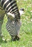 Прелестный конец вверх зебры есть траву Стоковое Изображение