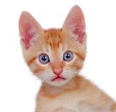 Прелестный коричневый котенок смотря камеру Стоковые Изображения RF