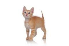 Прелестный коричневый котенок Стоковые Изображения RF