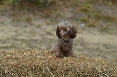Прелестный коричневый пудель игрушки на поруке сена Стоковое Фото