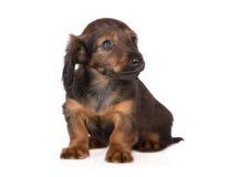 Прелестный коричневый щенок таксы стоковое изображение rf