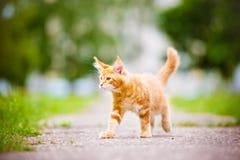 Прелестный котенок енота Мейна outdoors Стоковое Фото