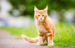 Прелестный котенок енота Мейна outdoors Стоковые Изображения
