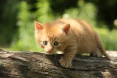 Прелестный красный котенок взбираясь ветвь дерева Стоковая Фотография RF
