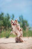 Прелестный милый щенок Коллиы границы на пляже Стоковое Фото
