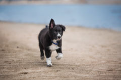 Прелестный милый щенок Коллиы границы на пляже Стоковые Фото