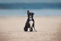 Прелестный милый щенок Коллиы границы на пляже Стоковые Фотографии RF