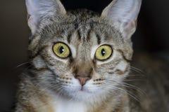 Прелестный общий tabby волос кота стоковое фото