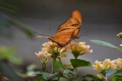Прелестный оранжевый рябчик Butterlies залива 2 в природе Стоковое Фото
