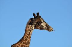 Прелестный профиль жирафа с его языком вне Стоковые Изображения RF