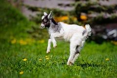 Прелестный ребенк козы скача outdoors Стоковая Фотография RF