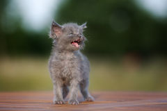 Прелестный серый котенок meowing Стоковые Фото