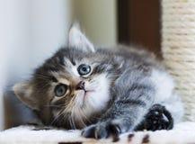 Прелестный сибирский котенок играя на царапая столбе, коричневый t Стоковые Фотографии RF