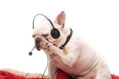 Прелестный французский бульдог с наушниками и mic Стоковое Изображение RF