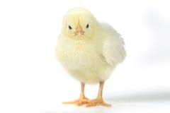 Прелестный цыпленок цыпленока младенца на белой предпосылке стоковое изображение rf