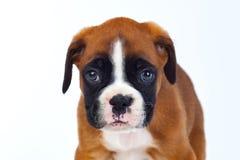 Прелестный щенок боксера Стоковое фото RF