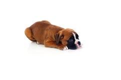 Прелестный щенок лежа на поле Стоковые Изображения