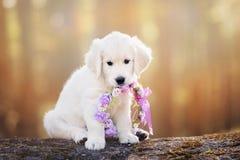 Прелестный щенок золотого retriever сидя в лесе стоковые фотографии rf