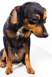 Прелестный щенок на белой предпосылке Стоковые Фотографии RF