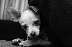 Прелестный щенок чихуахуа на переднем плане черно-белый Стоковая Фотография