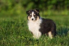 прелестный щенок sheltie outdoors в лете стоковые изображения rf