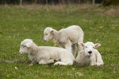3 прелестных белых овечки ослабляя в траве Стоковые Фото