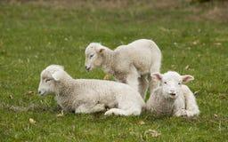 3 прелестных белых овечки ослабляя в траве Стоковые Изображения