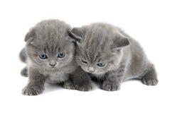 2 прелестных великобританских маленьких котят Стоковые Фото