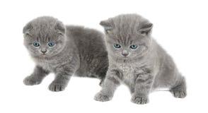 2 прелестных великобританских маленьких котят Стоковое Фото