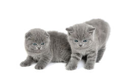 2 прелестных великобританских маленьких котят Стоковые Изображения