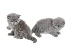 2 прелестных великобританских маленьких котят Стоковые Фотографии RF